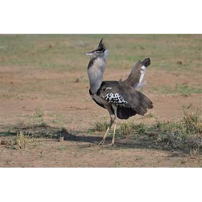 National Geographics: kori bustard birds