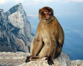 Gibraltar Rock Monkeys