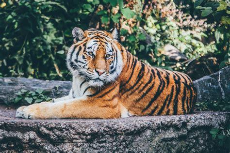 Free Images Animal Wildlife Zoo Fauna Big Cat Tiger
