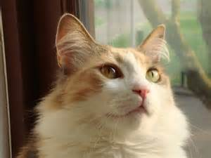 best breed of cat aegean cat the best cats by breed of cat aegean