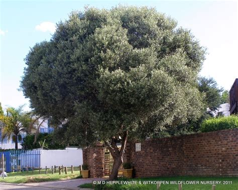 fruitless olive tree growth rate pin by sally on landscape with terraces pinterest