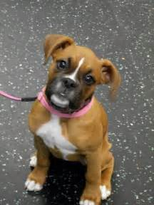 Girl Boxer Puppies