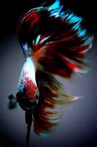 Beautiful Red Betta Fish