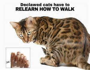 how to declaw a cat 37 best images about cat declawing on cats
