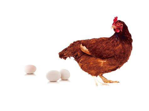 laying hens how to increase egg production of your poultry
