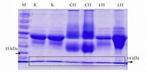 Electrophoresis Results Of Lysozyme Partial Purification   15  Sds