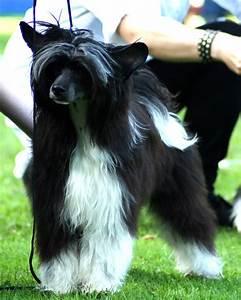 Chinese Crested Dog | kinesvovvar.wordpress.com