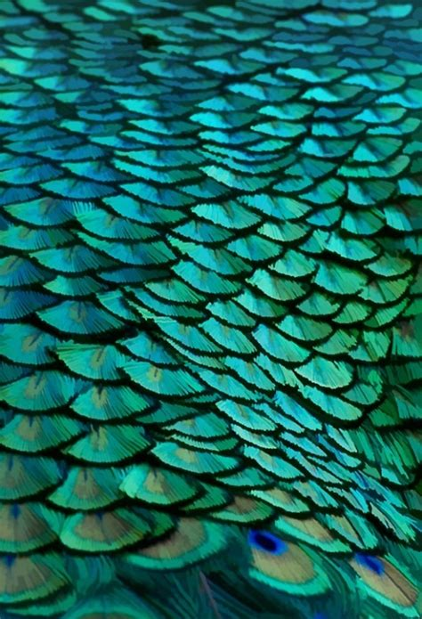 peacock green color peacock feathers itunes https itunes apple us