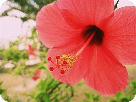 significato ibisco significato fiori significato