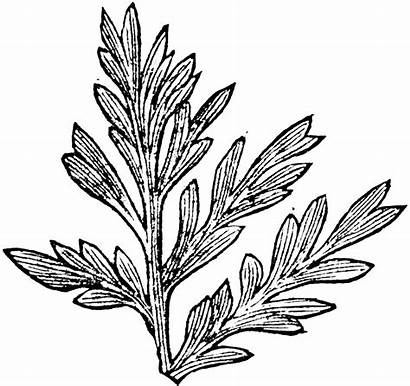 Fern Fossil Clipart Drawing Etc Botanical Getdrawings