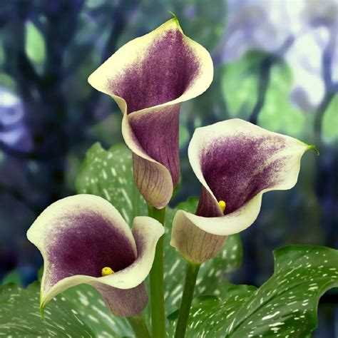are calla lilies bulbs calla lily bulbs quot picasso quot