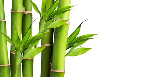 bamboo aspca