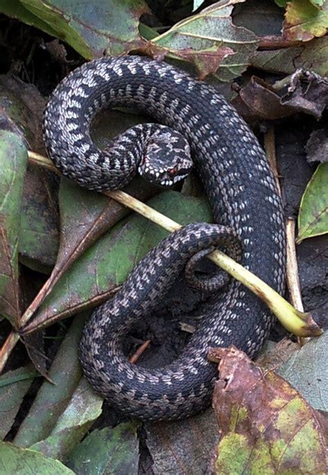 vipera berus wikimedia commons