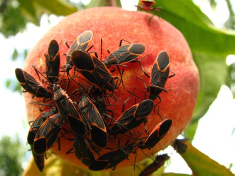 Backyard Pests Of Ripening Fruit  Ipm Pest Advisories