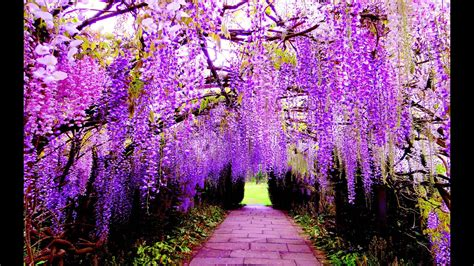 wisteria   beautiful flower  earth ashikaga