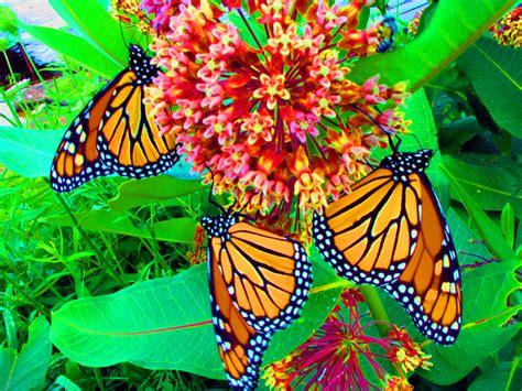 butterflys   clip art  clip art