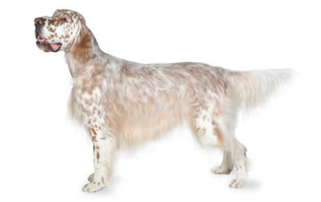 English Setter Dog Breed Information, Pictures