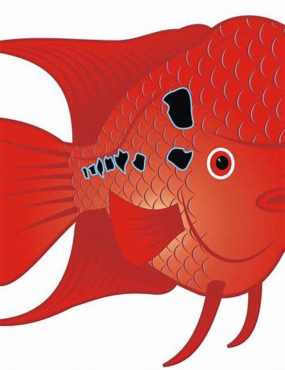 Goldfish Fish Aquarium Clipart Transparent Flowerhorn Webstockreview