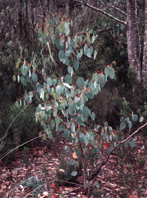 species information eucalyptus delegatensis
