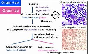 How Gram Stain works? Gram Staining Principle: Step by ...
