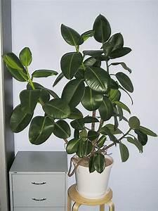 Schädlinge Zimmerpflanzen Klebrige Blätter : mein gummibaum ficus elastica majas pflanzenblog ~ Lizthompson.info Haus und Dekorationen