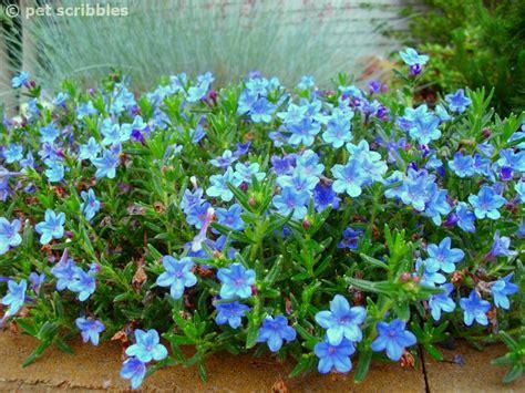 perennial flowers blue perennial flowers try lithodora an update