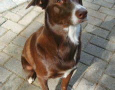 mcnab dog mcnab shepherd info temperament puppies