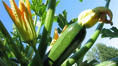 Tricks Für Die Zucchinipflanzen