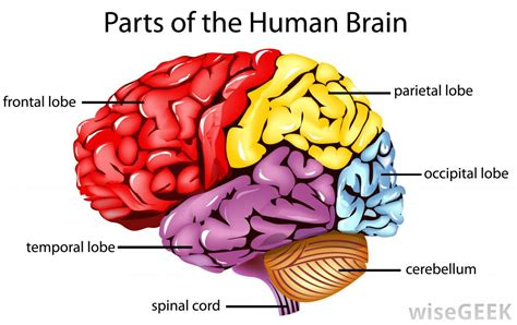 what are the different lobes of the cerebrum with pictures