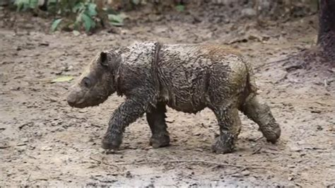 baby sumatran rhino  indonesias  born  captivity