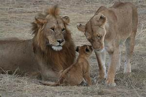 Beth's Blog: The Lions' Story