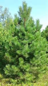 Most Popular Christmas Trees Types by Types Of Evergreens Smith Evergreen
