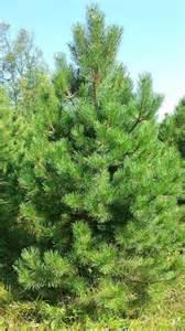 Evergreen Pine Tree Types
