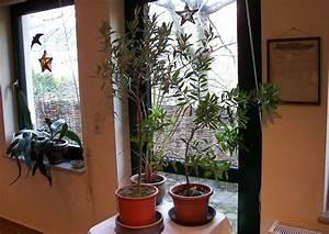 Olivenbaum Im Wohnzimmer überwintern : olivenbaum berwintern ~ Markanthonyermac.com Haus und Dekorationen