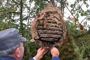 Essaim De Frelon : un nid de frelon asiatique attention pompiers 79 ~ Melissatoandfro.com Idées de Décoration