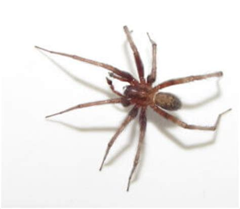 Barn Spider Bite by Common Household Pests Indoor Spiders After Bite