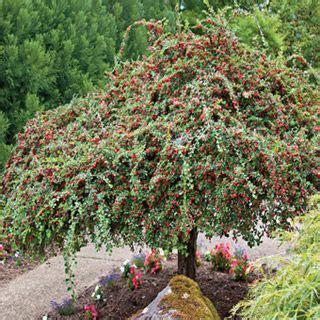 weeping cranberry cotoneaster gardening shrubs garden
