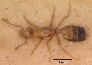 Pharaoh Ant Bites