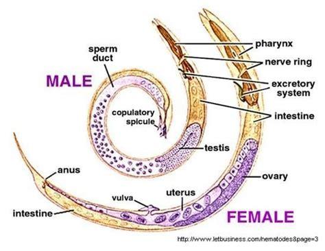 Ascaris Lumbricoides (large Intestinal Roundworm) Adult