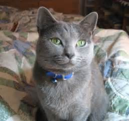 russian blue cat for pet advice ideas guides 187 archive 187 how to care of