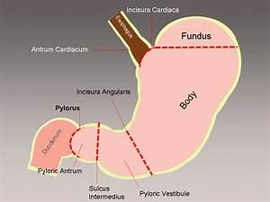 Pyloric Antrum  Antrum  Pyloric  Gastric Antrum