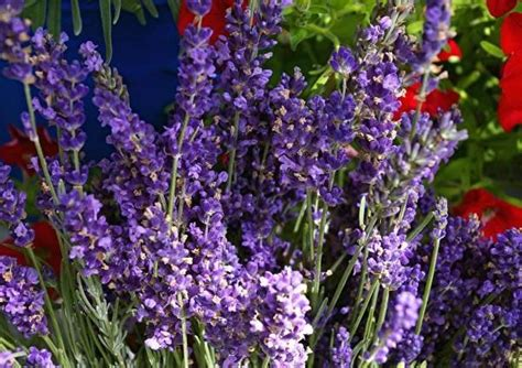 growing lavender with these tips anyone can grow lavender growing lavender front yards and to grow