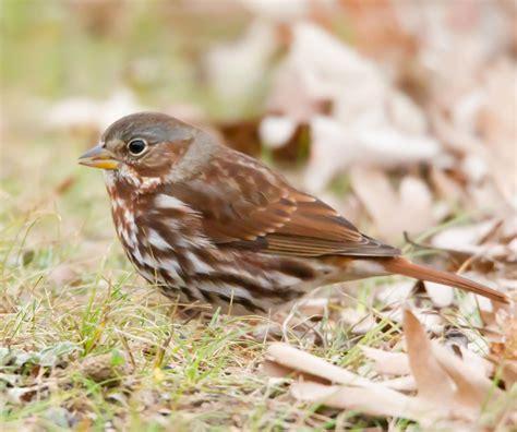 cornells   guide  birds audubon missouri