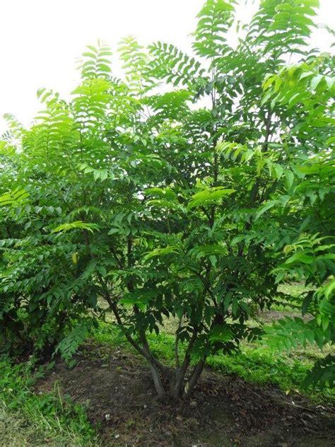 schnell wachsender baum mit breiter krone pterocarya fraxinifolia fl 252 gelnuss mehrst 228 mmig gro 223 er baum mit breiter und ausladender krone
