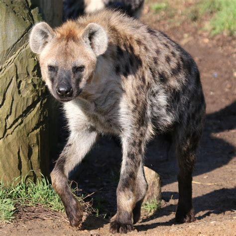 spotted hyenahyaena