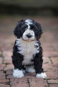 Portuguese Water Dog Information and Pictures | Dog, Dog ...