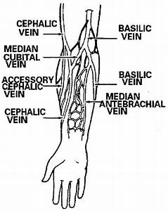 26 Diagram Of Veins In Arm For Phlebotomy