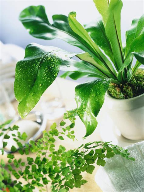 fern house plants the best ferns to grow indoors hgtv