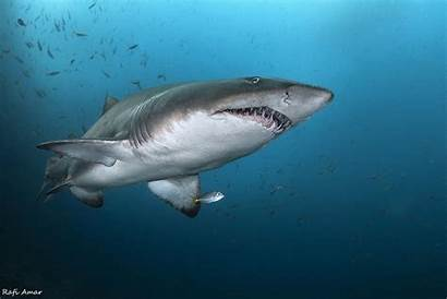Shark Nature Animals 4k Wallpapers Underwater Mouth