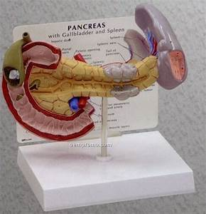 Anatomical Pancreas Model W   Gallbladder  U0026 Spleen